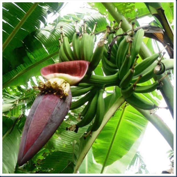pisang-jantung31569841